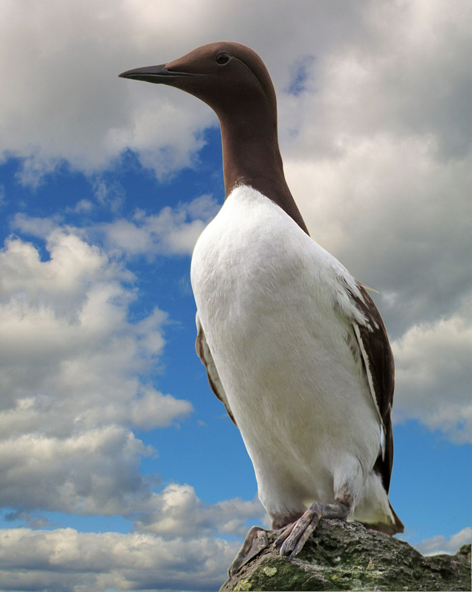 Ornitologiske Ture - Alk