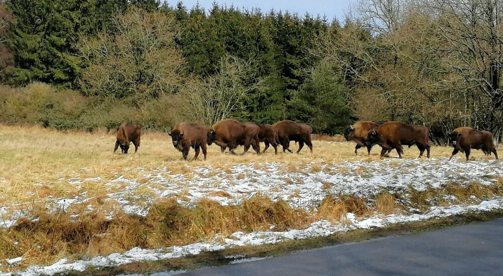 bison bornholm
